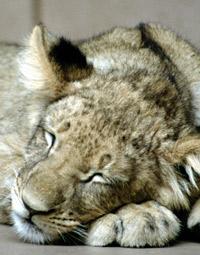Lion dormant