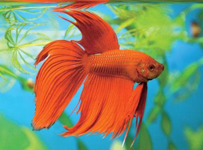 L animalerie le betta un poisson splendide les for Animalerie poisson
