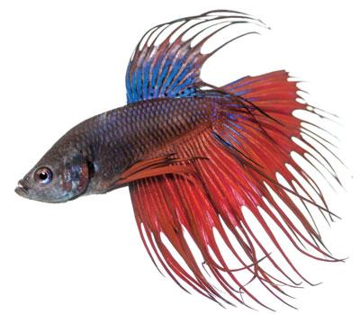 L animalerie le betta un poisson splendide les for Nourriture poisson betta