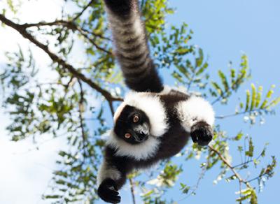 Lemur400