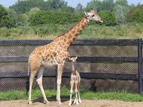 Girafe+bebefille500