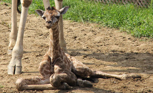 Girafeau500