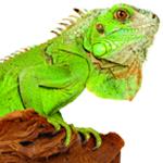 Iguane151