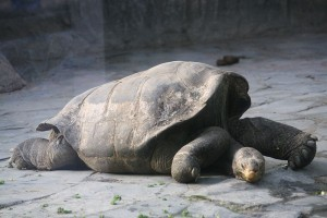 800px-Geochelone_nigra_duncanensis_(Zoo_Praha_2011-01-16)_4088