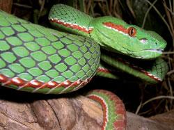 SerpentHimalaya250